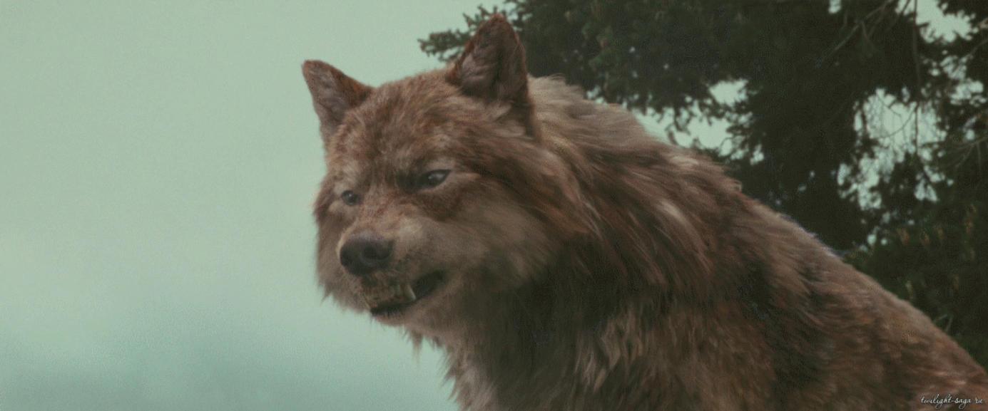 twilight jacob black wolf - photo #10
