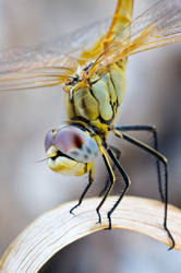 dragonfly 5 by scott-leeson