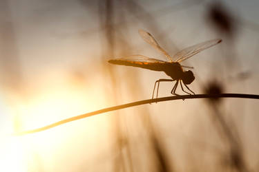 dragonfly spain