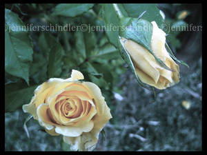 Roses in the Twilight