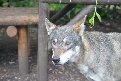The wolf by ambertamcken