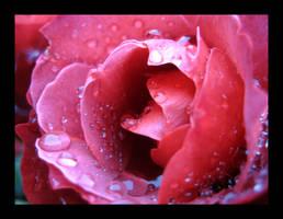 Raindrops on Roses II by aelthwyn
