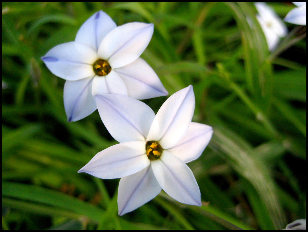 White Star Flowers 4 by aelthwyn on DeviantArt