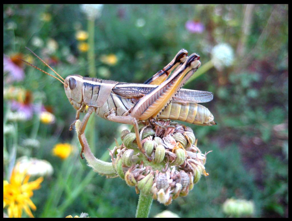 Grasshopper by aelthwyn