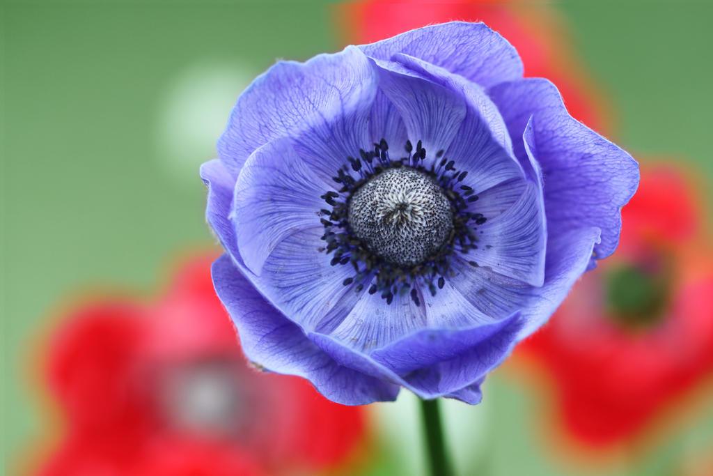 purple poppy by aelthwyn on deviantart