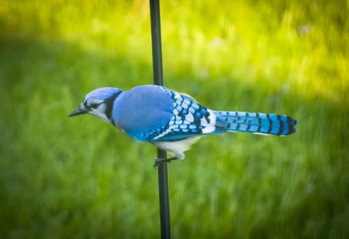 Bluejay 3