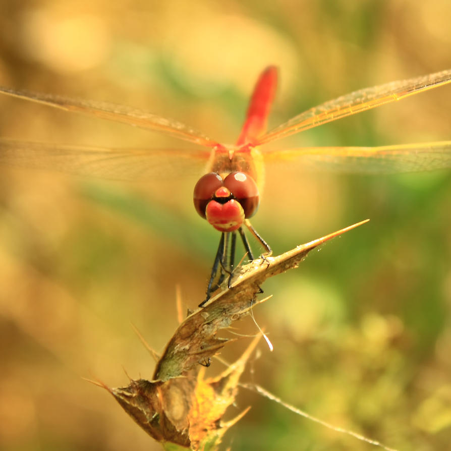 Red Dragonfly by buzadam