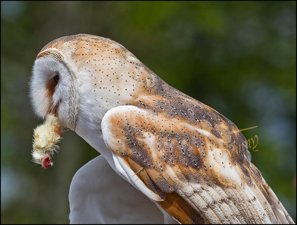 Barn Owl-1 by my-cousine-vinny