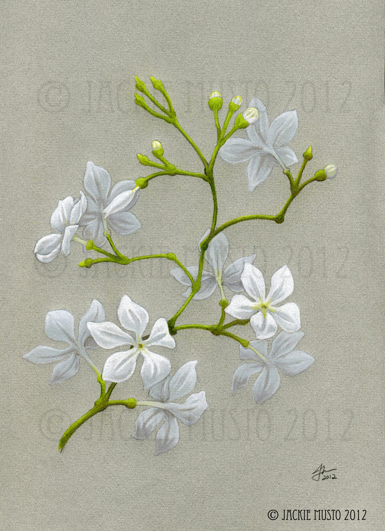 Jasmine Flowers By Jackie M Illustrator On Deviantart