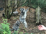 Ring-Tailed Lemur by aidmoore