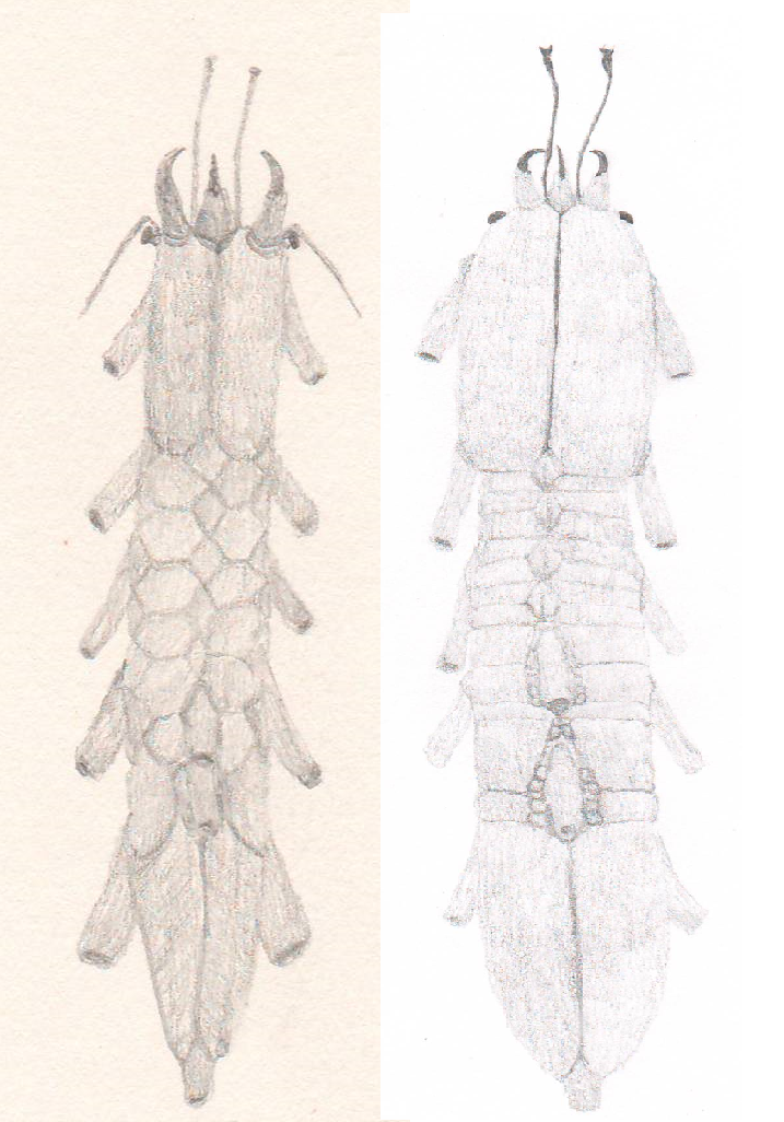 2 species of siphonopods