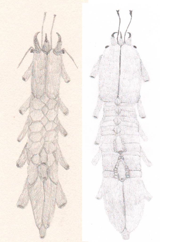 2 species of siphonopods