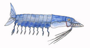 Barracuda Shrimp