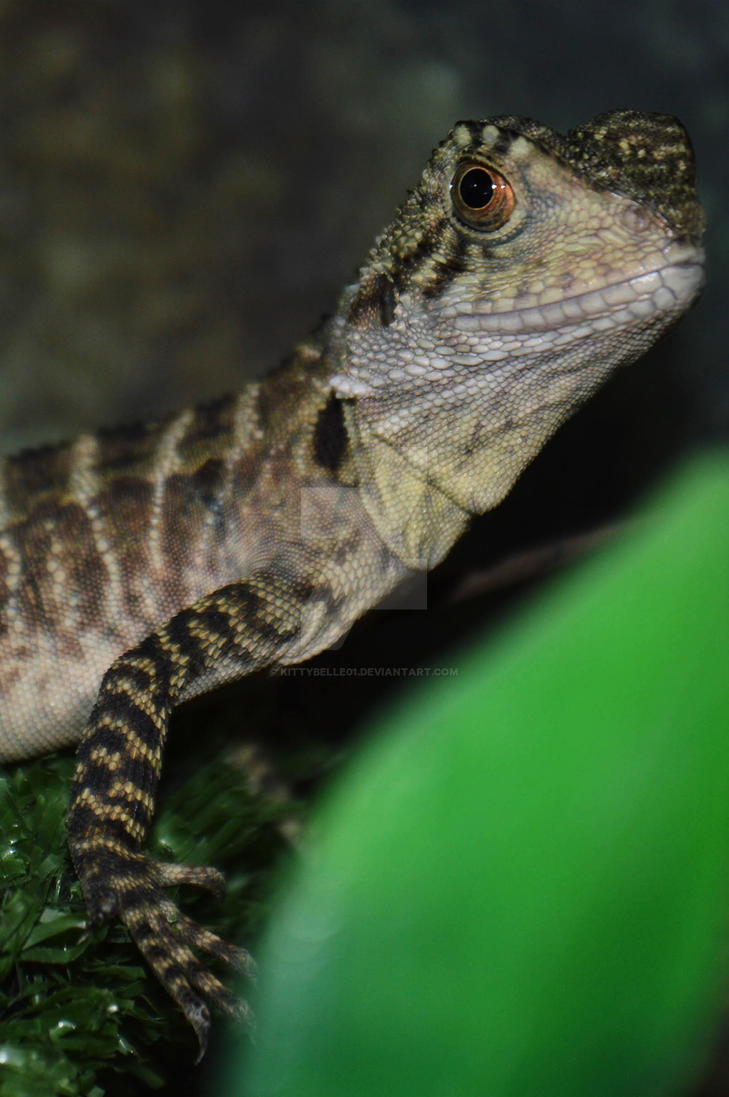 baby gippsland water dragon by KittyBelle01