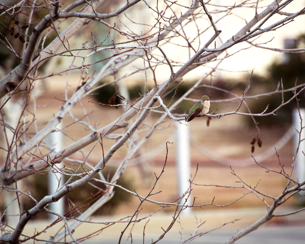 Hummingbird 1 by FrauV8