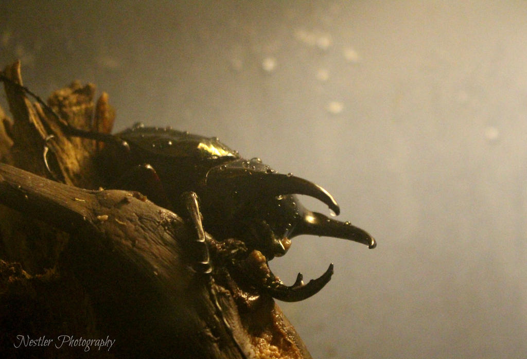 Rhinoceros Beetle by AuthorKatla