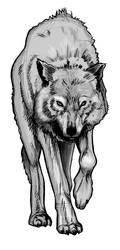 Wolf Study Part 3.2 by Kryptoniteking
