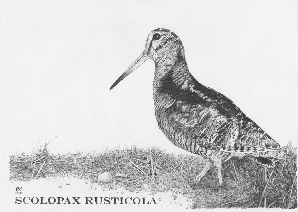 Becada (Scolopax Rusticola) by JEspadas
