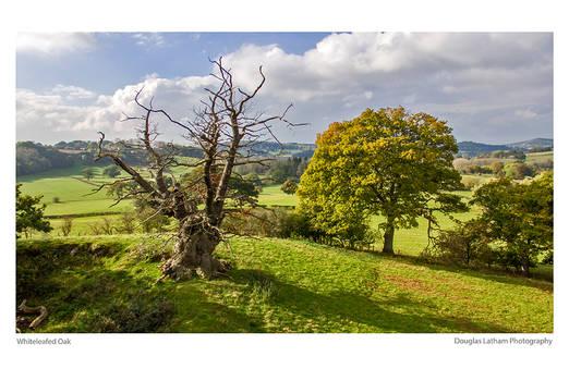 Whiteleaved Oak