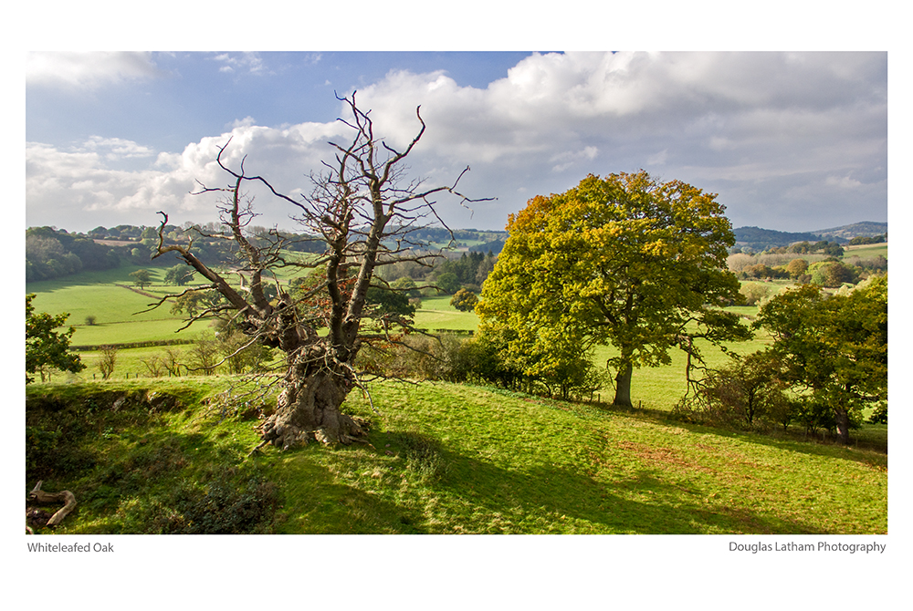 Whiteleaved Oak by DL-Photography