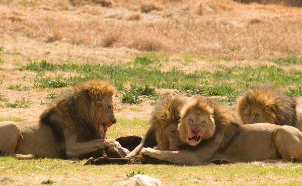 Photos and pictures of: Lion feeding from a zebra (Panthera leo ...