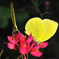 St Maarten Butterfly by SublimeBudd