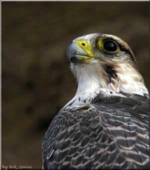 Falco biarmicus III
