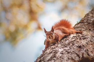 Red Squirrel by Mishu-Evil-Genius