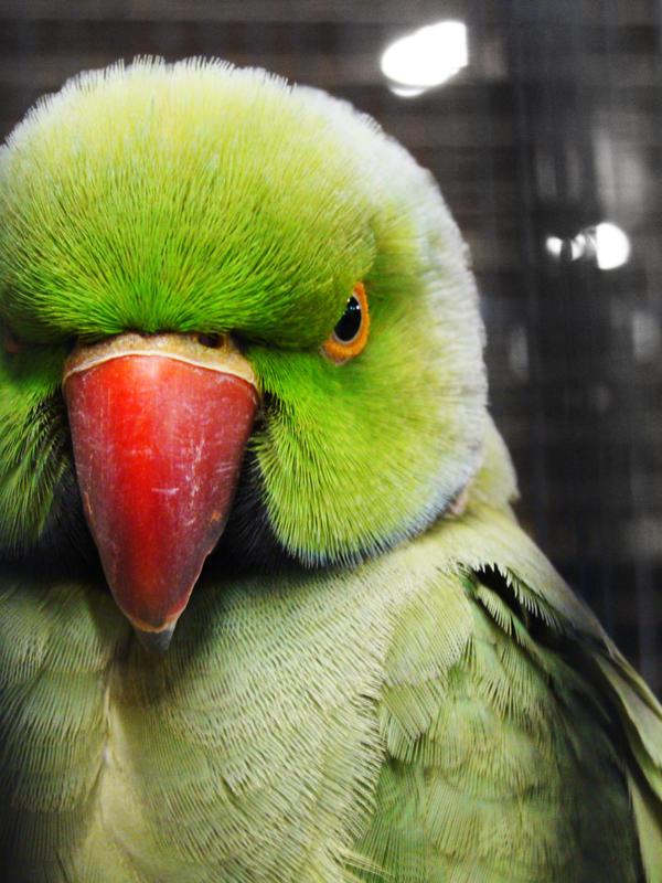 Blue Ring Net Parrot