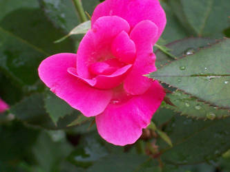 Rose After Rain by Ranuel