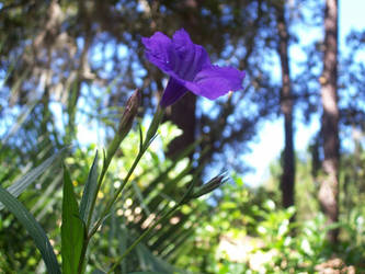 Mexican Bluebell by Ranuel