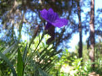 Mexican Bluebell