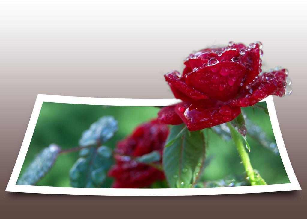 Rose by xXxZephyr7711xXx