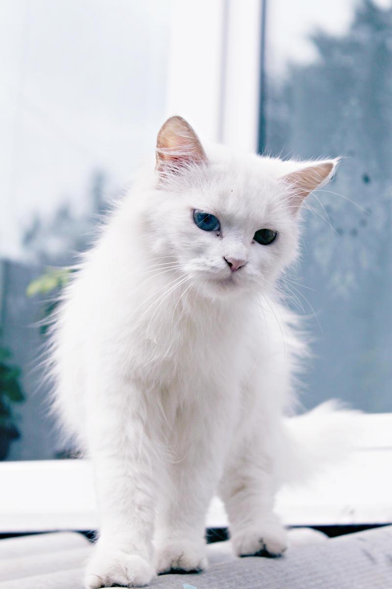 Pretty Albino Cat by fuzzy-blue-light on DeviantArt