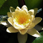 Water Lily 1 by Kata