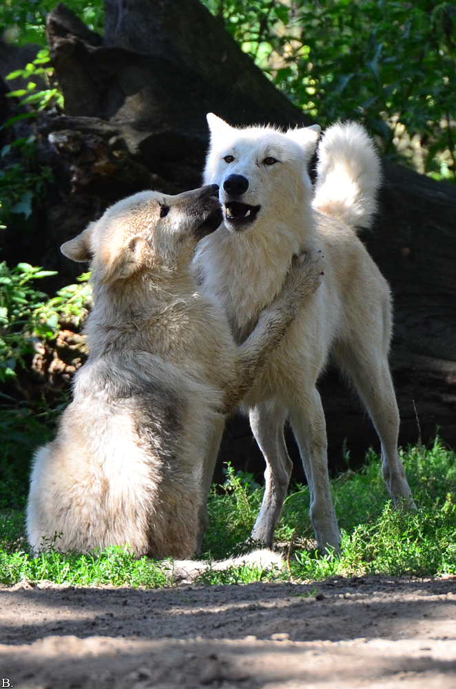 Wolfkiss by Wincey