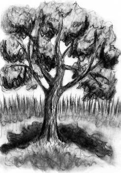 Maple Tree Charcoal Drawing