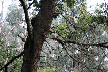 Kookaburra by egidiogaudi
