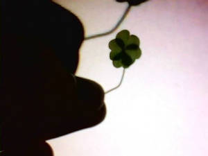 a real Four Leaf Clover