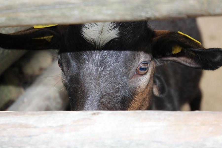 Goat 1 by R4xx4r