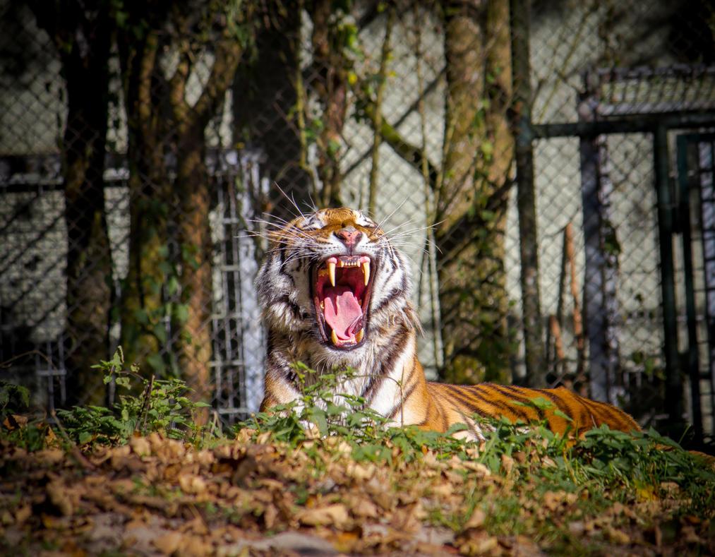 Tiger 11 by R4xx4r