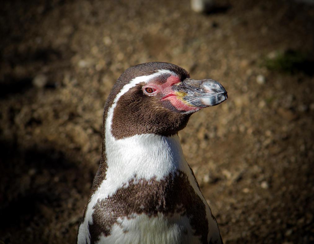 Penguin 03 by R4xx4r