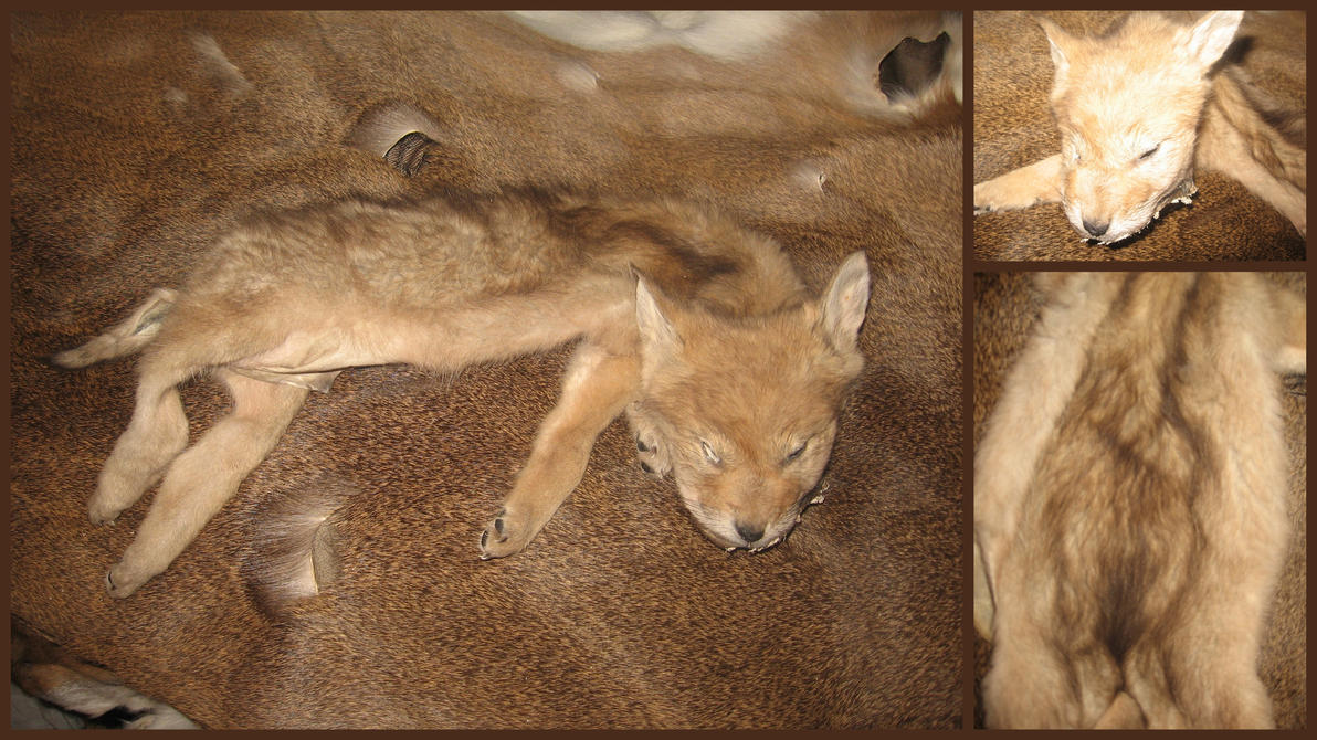 Coyote Puppy Pelt by ToothNClawTaxidermy