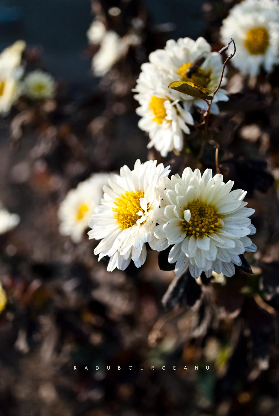 Flowers by RaduBourceanu