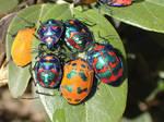 Jewelled Beetles