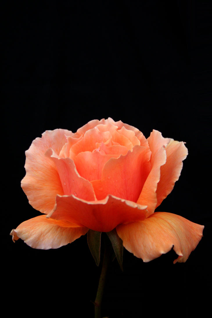 Rose by shapeshiftphoto