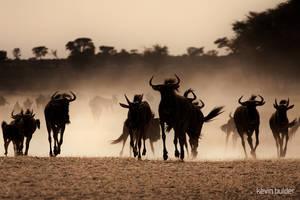 Blue wildebeest approaching by Kbulder