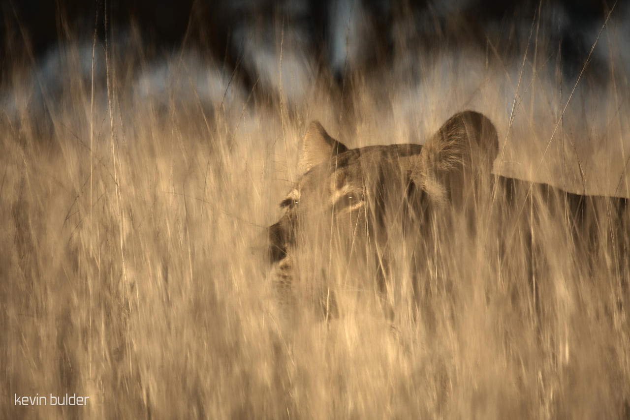 Stalking lioness by Kbulder on DeviantArt