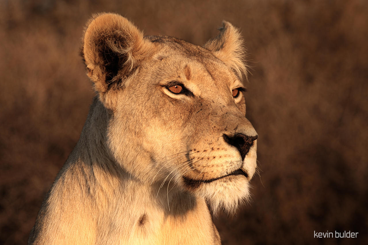 Lioness portrait by Kbulder