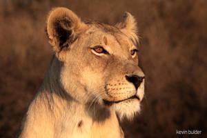 Lioness portrait by Kbulder